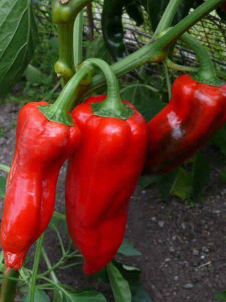 Paprika Corno Rosso Stierhorn