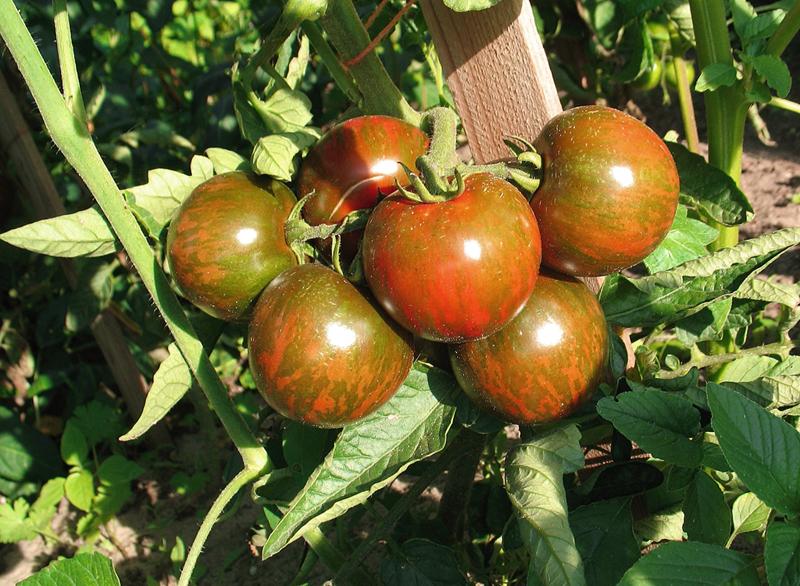 Black Zebra Tomate