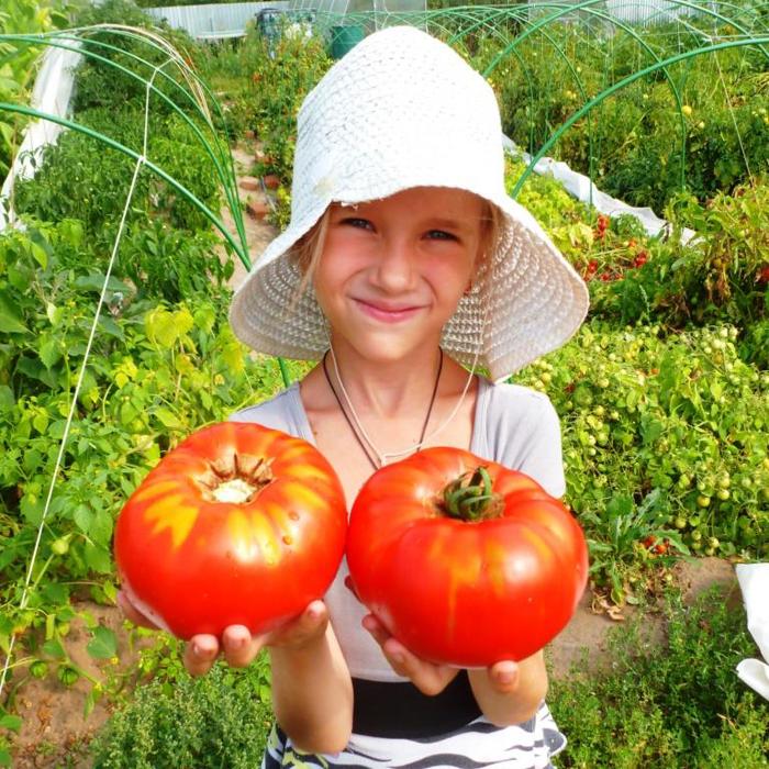 Delicious Tomate Bio Saatgut