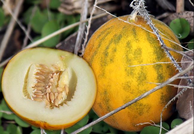 Kasachische Zuckermelone