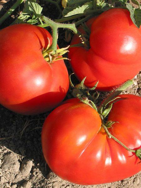 Pantano Romanesco Tomate