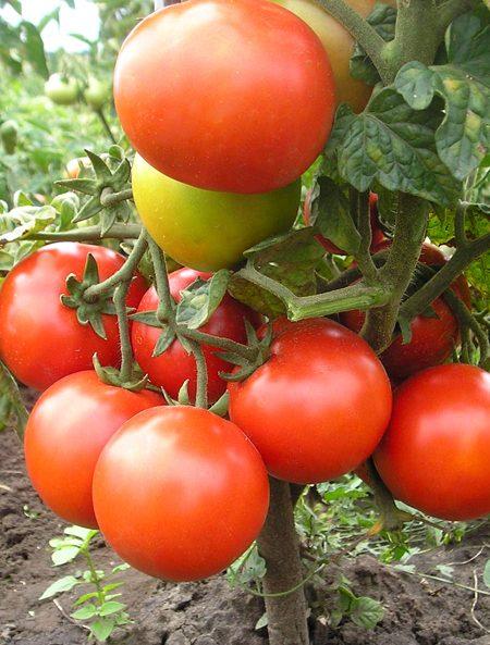 Saint Pierre Tomate