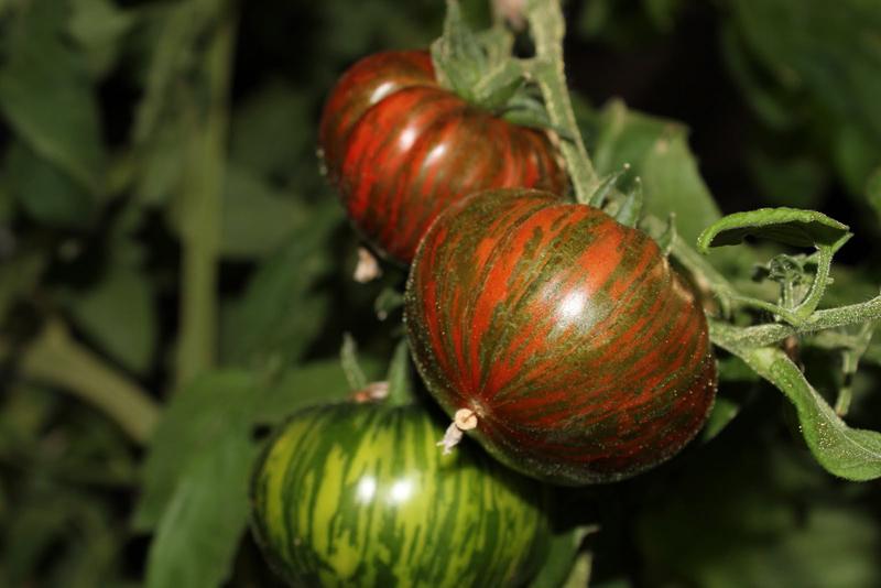 Tomate Chocolate Stripes