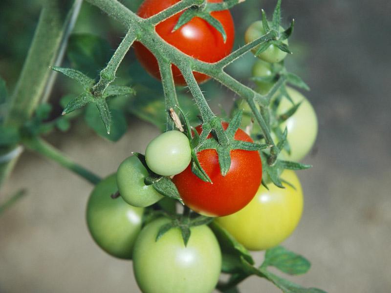 czech bush tomate bio saatgut. Black Bedroom Furniture Sets. Home Design Ideas