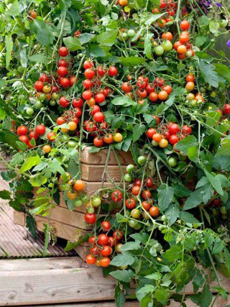 Tomate Gardeners Delight