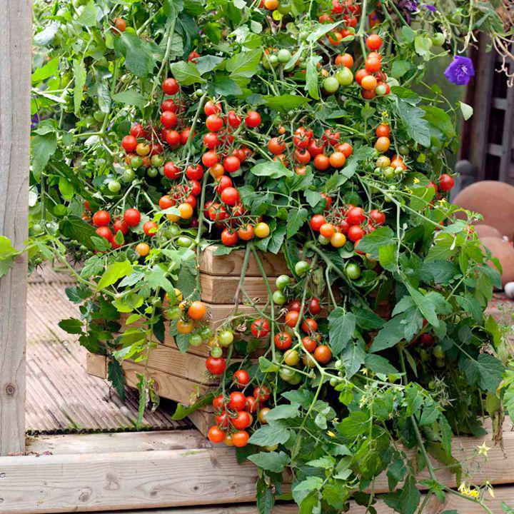 gardeners delight tomate bio saatgut. Black Bedroom Furniture Sets. Home Design Ideas