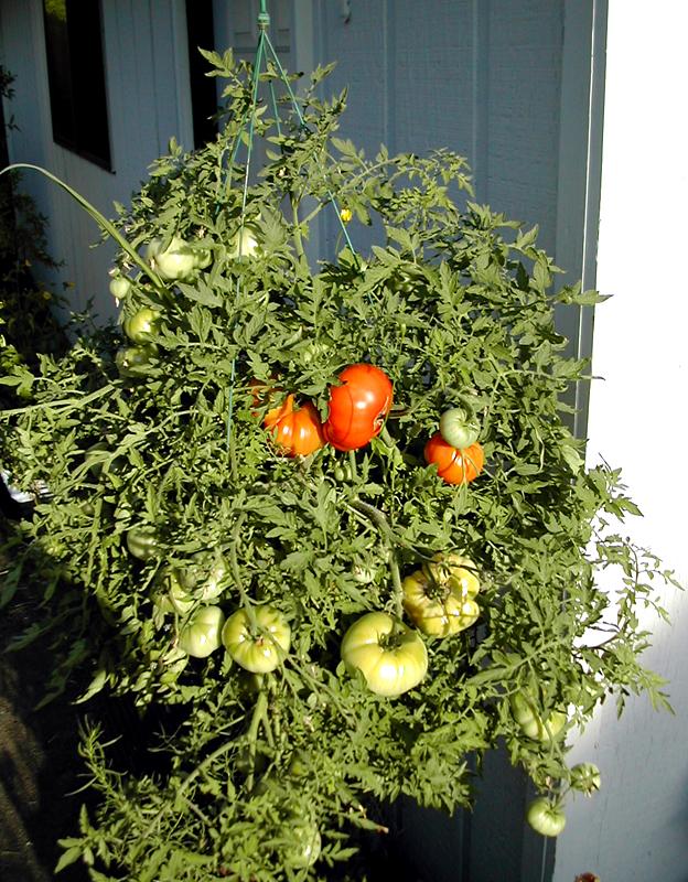Tomate Silver Fir Tree