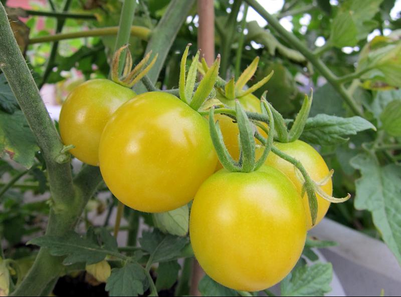 Tomate Sun Drop