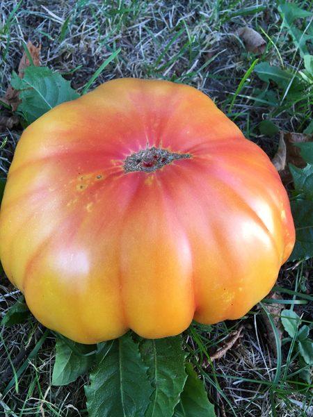 Tomaten Big Rainbow