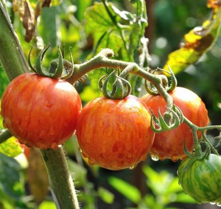 Tomaten Striped Stuffer
