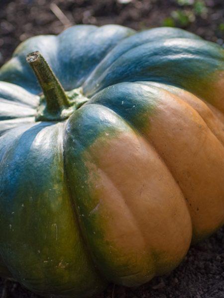 Muscade de Provence