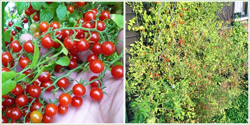 Johannisbeer Spoon Tomate