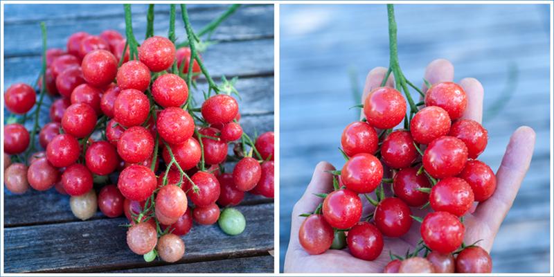 Pin Grape Tomate