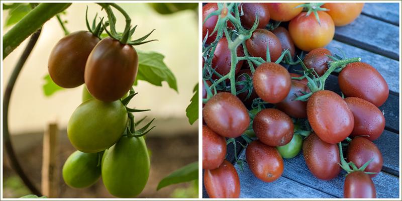 Ukraine Purple Tomate