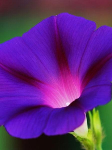 Prunkwinden-Ipomoea-purpurea