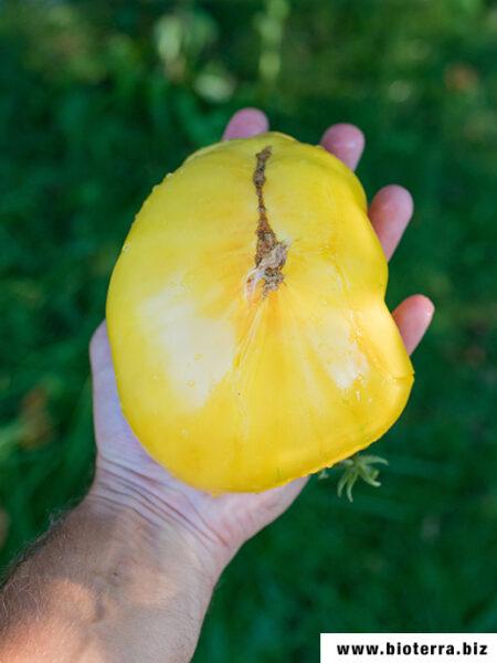 Giant White Tomate