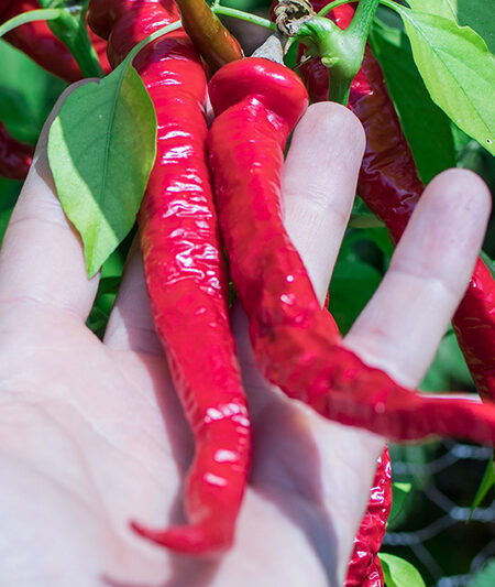 Cayenne Thick Chili
