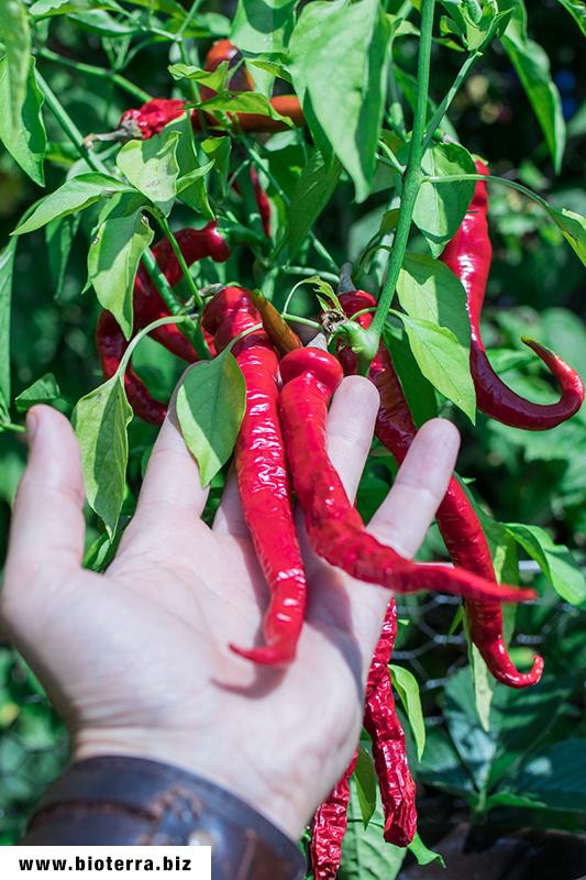 Cayenne Thick Chili