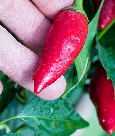 Purrira Paprika Chili