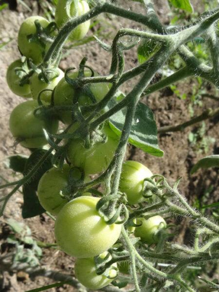 Fuzzy Wuzzy Tomate
