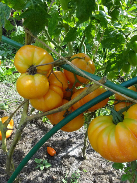 Lucky Cross Tomate